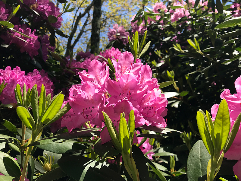 rhododendrons-southern-highlands-reserve