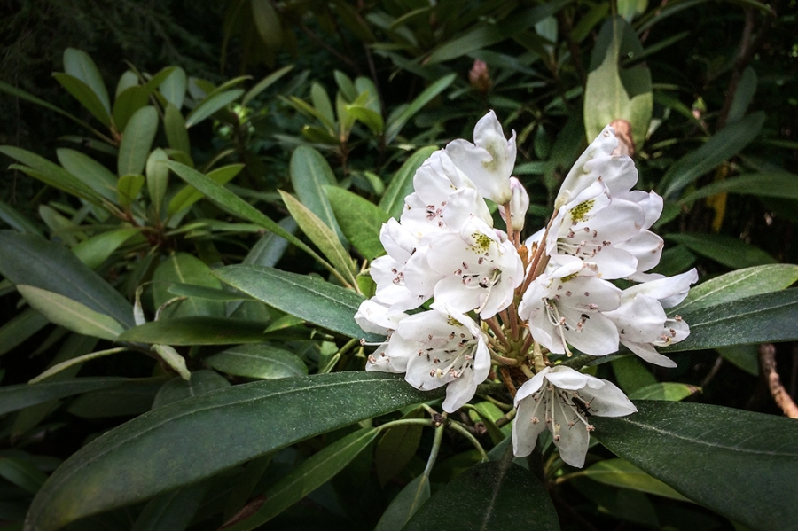 rhododendron-max-southern-highlands-reserve